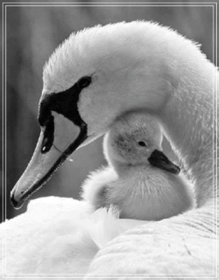 swan-mom-baby