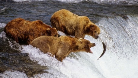 bears-eating-salmon