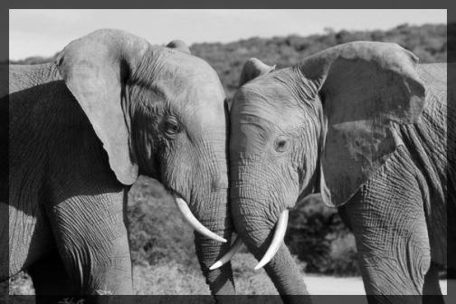 elephants soothing