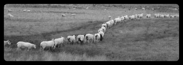 sheep herd in line